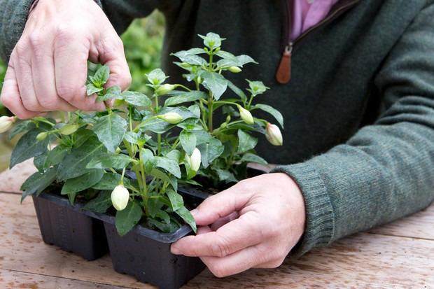 How to pinch out fuchsias - removing the shoot tips