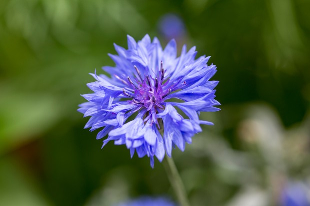A striking blue cornflower