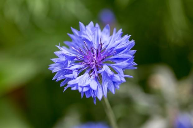 A striking blue cornflower
