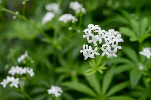 White sweet woodruff flowers
