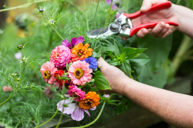 Cutting cosmos blooms to add to a colourful posy of flowers