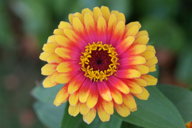 A yellow, red and pink flower of zinnia 'Swizzle'