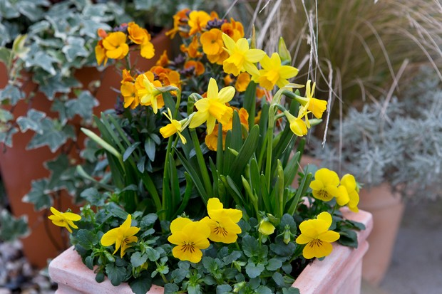 wallflower-erysimum-rysi-copper-narcissus-tete-a-tete-and-yellow-pansies-2