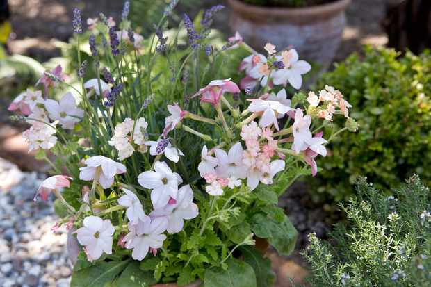 Nicotiana and lavender in a pot display