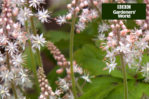 How to plant tiarella