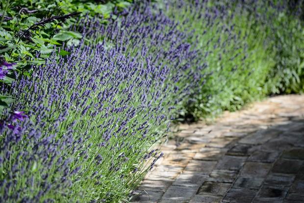 lavender-hedge-along-a-path-2