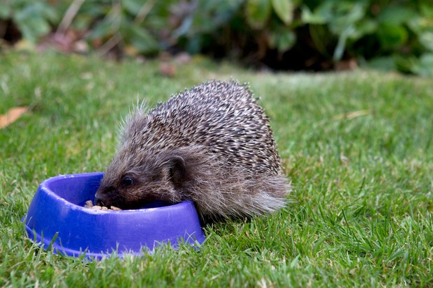 A hedgehog eating out of a bowl on a lawn
