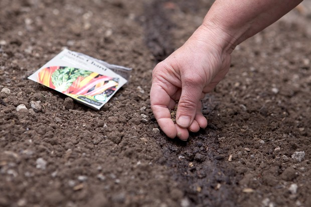 Sowing Swiss chard seeds