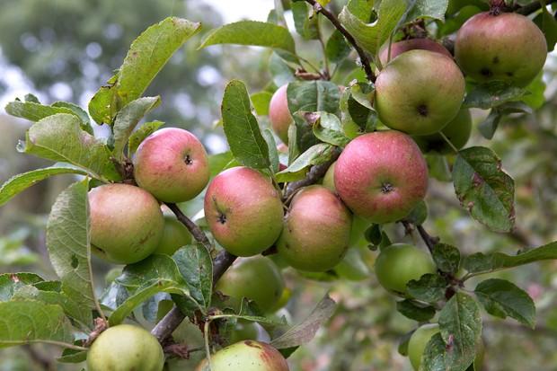 apples-on-tree-2