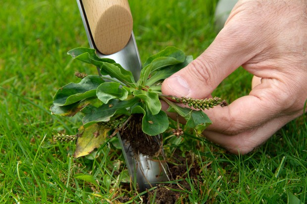 removing-a-weed-from-lawn-2