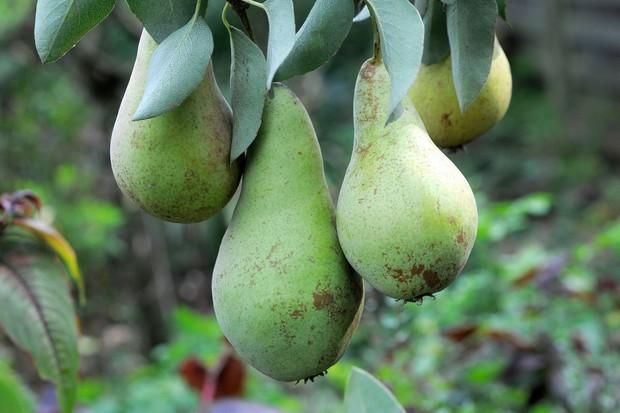 pear-tree-2