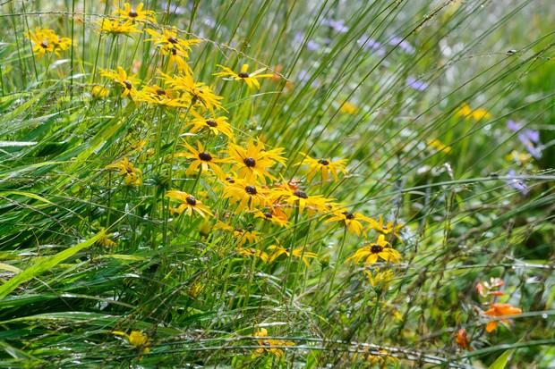 Bright-orange rudbeckias planted beside grasses