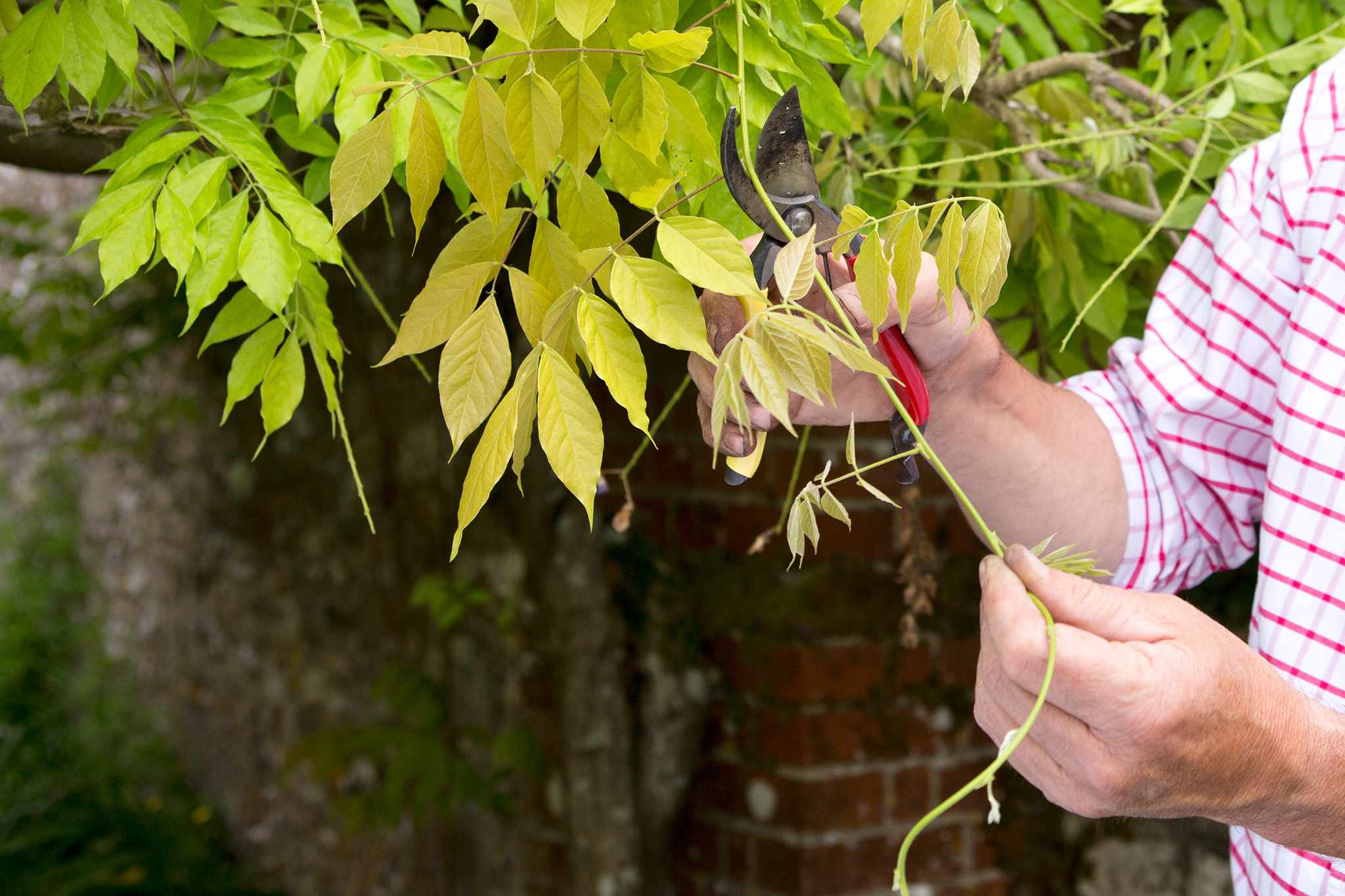 Pruning wisteria in summer