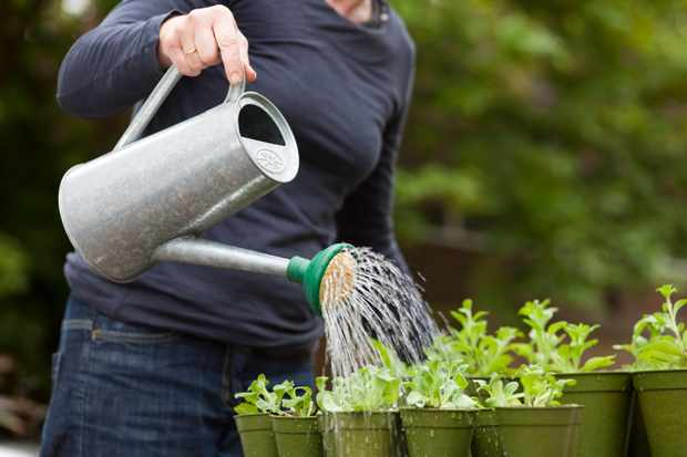 growing-on-plug-plants-watering-in-plug-plants