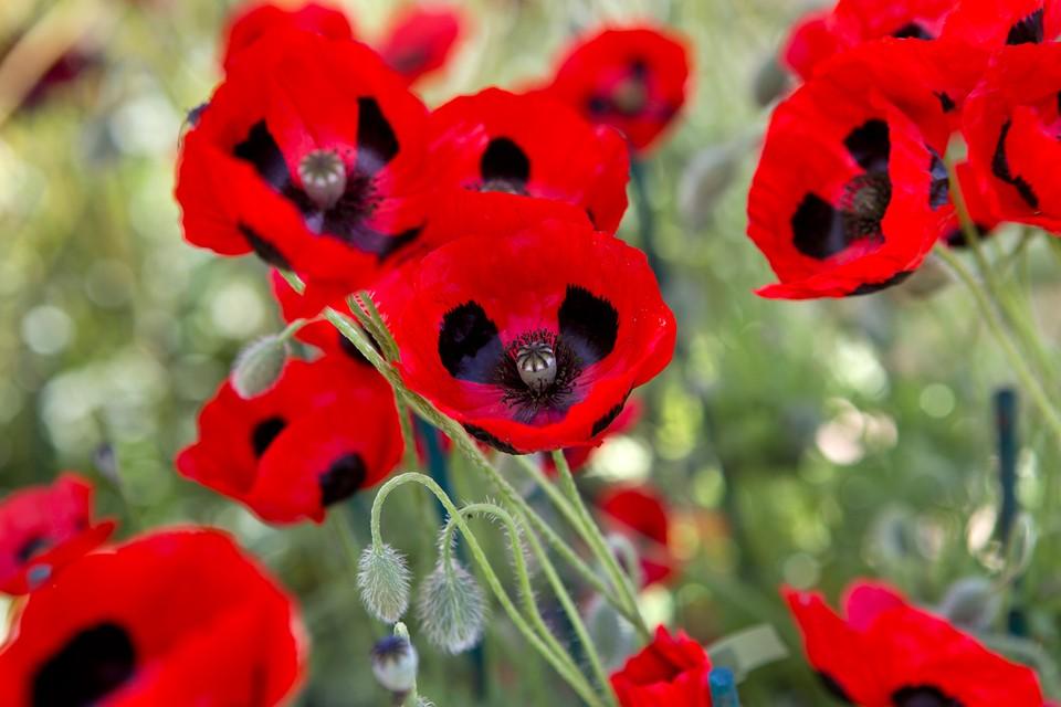 How To Grow Poppies Bbc Gardeners World Magazine