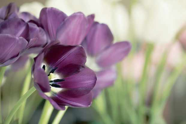 tulip-bessie-2
