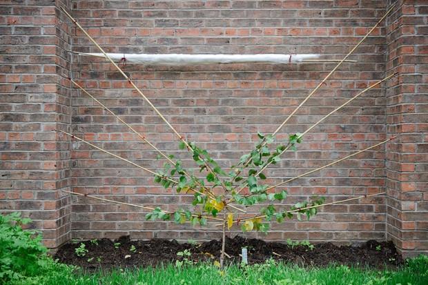 Training a small fruit tree into a fan