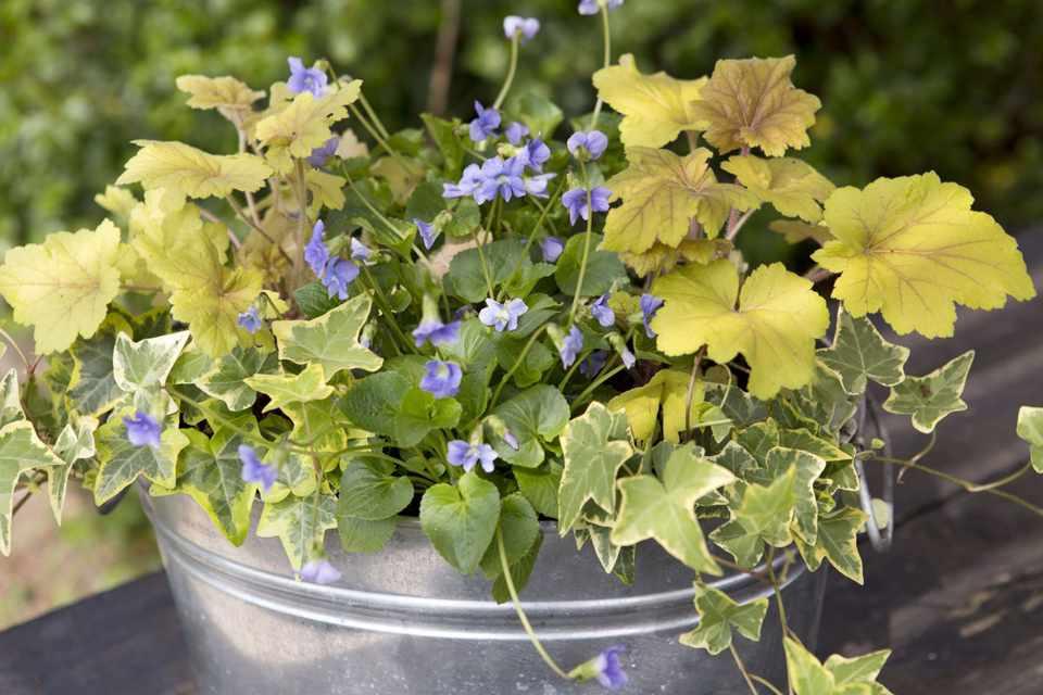 Heuchera and viola pot display