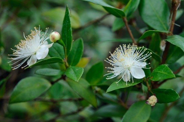 White flowers on common myrtle