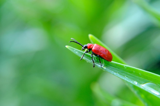 A red lily beetle sitting at the tip of a leaf