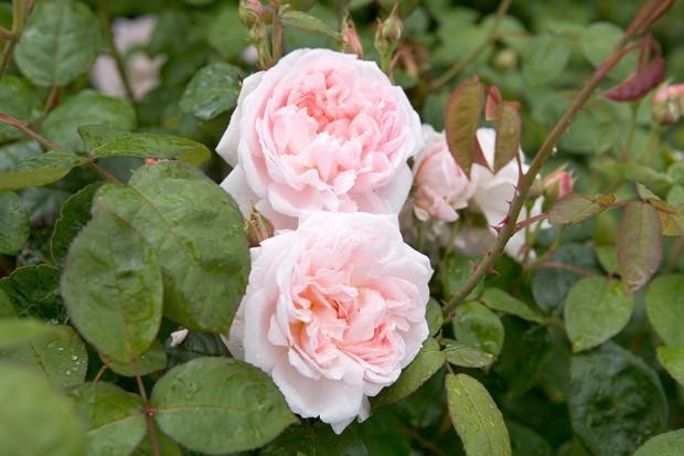 Pale-pink rosette blooms of Rosa 'Eglantyne'
