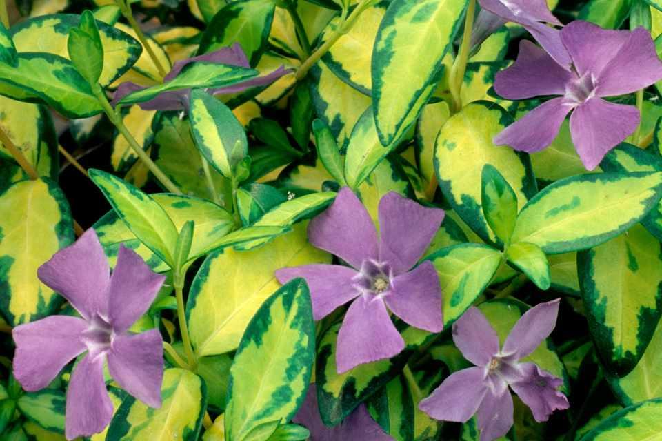 Purple flowers and yellow/green variegated leaves of periwinkle, Vinca