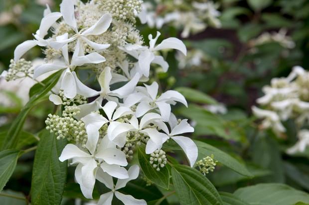 white-hydrangea-3