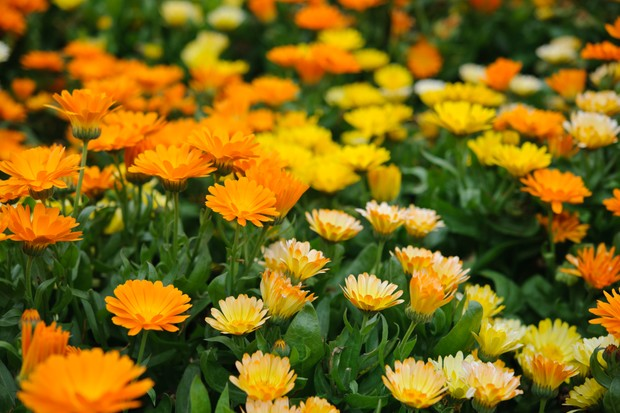 Calendula 'Fruit Twist'
