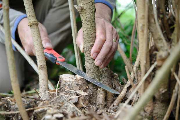 Using a pruning saw to remove a thick branch of a dormant plant