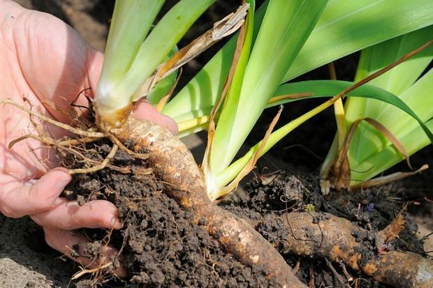Replanting iris rhizomes