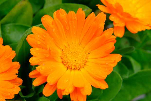 Orange calendula blooms