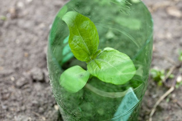 An individual cloche made from a plastic bottle to protect a solo small plant