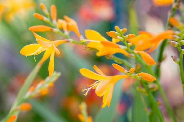 Plants for late summer colour gardenersworld crocosmia flowers 2 mightylinksfo