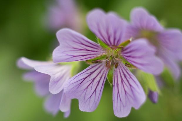 Mauve Geranium 'Stephanie' flowers