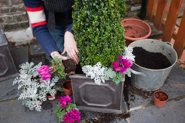 Box and cyclamen display - planting around the box cones