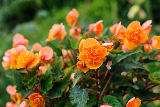 plants-for-a-jungle-style-border-begonia-2