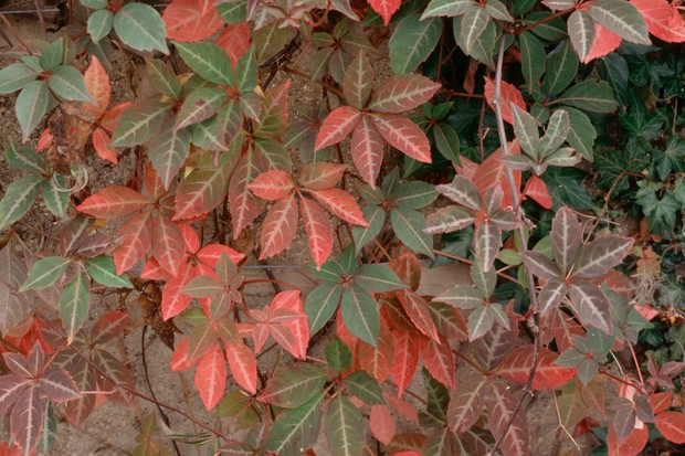Red and green Parthenocissus leaves