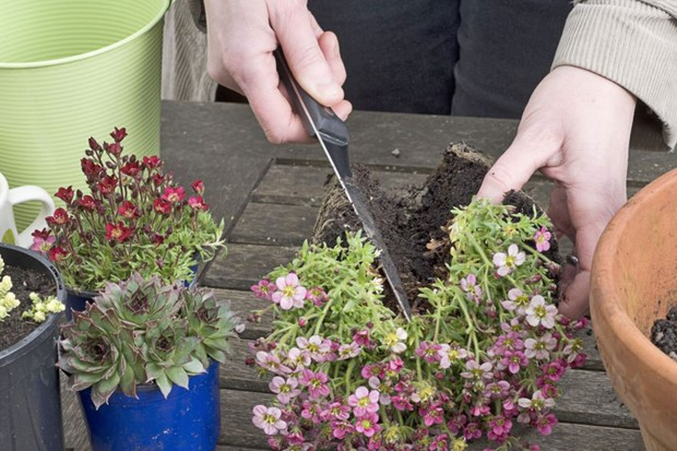 Dividing the saxifrage