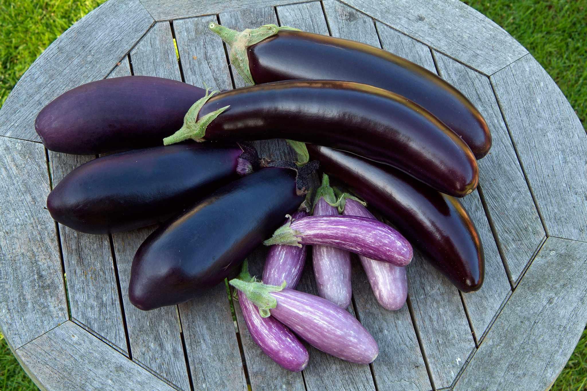 Aubergine varieties