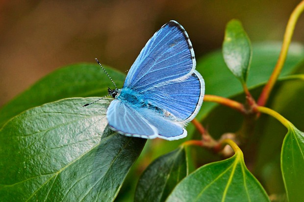 holly-blue-butterfly-credit-butterfly-conservation-www-butterfly-conservation-org-2