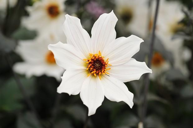 Single, white dahlia 'Joe Swift'