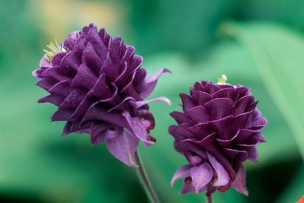 Deep purple, double blooms of aquilegia 'Warwick'