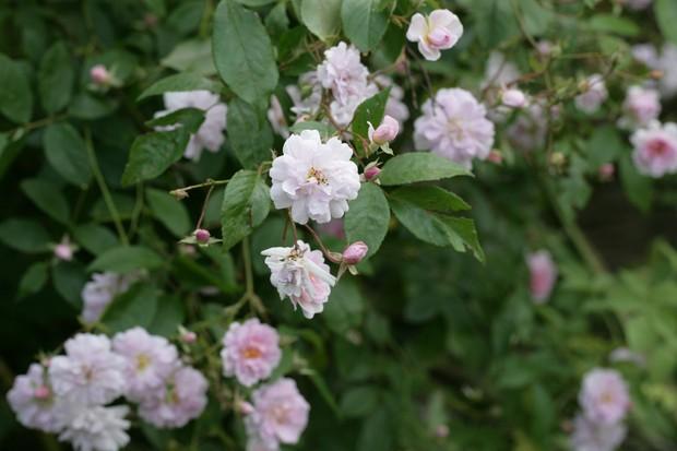 rosa-pauls-himalayan-musk-2