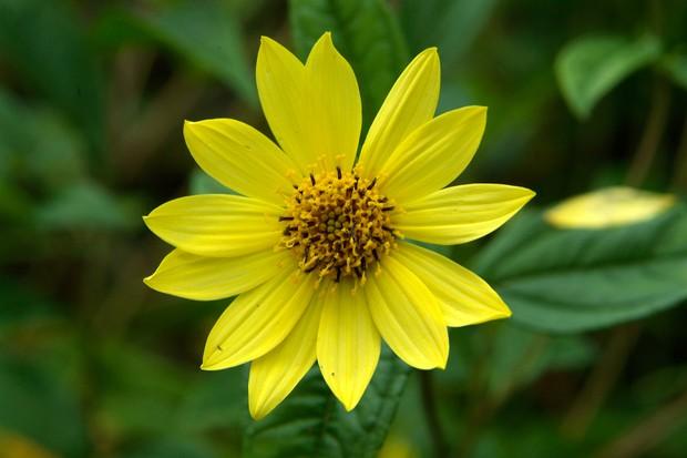 helianthus-lemon-queen-7