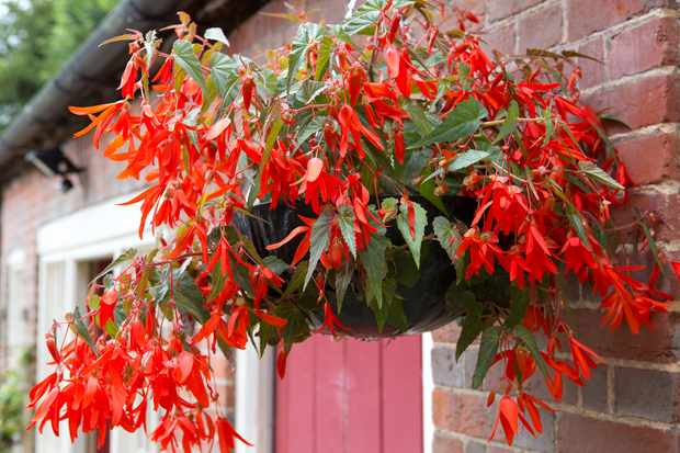 begonia-inferno-hanging-basket-3