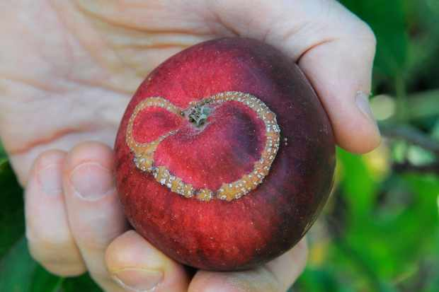 An apple with ribbon-scar damage caused by apple sawfly larvae tunnelling beneath the fruit skin