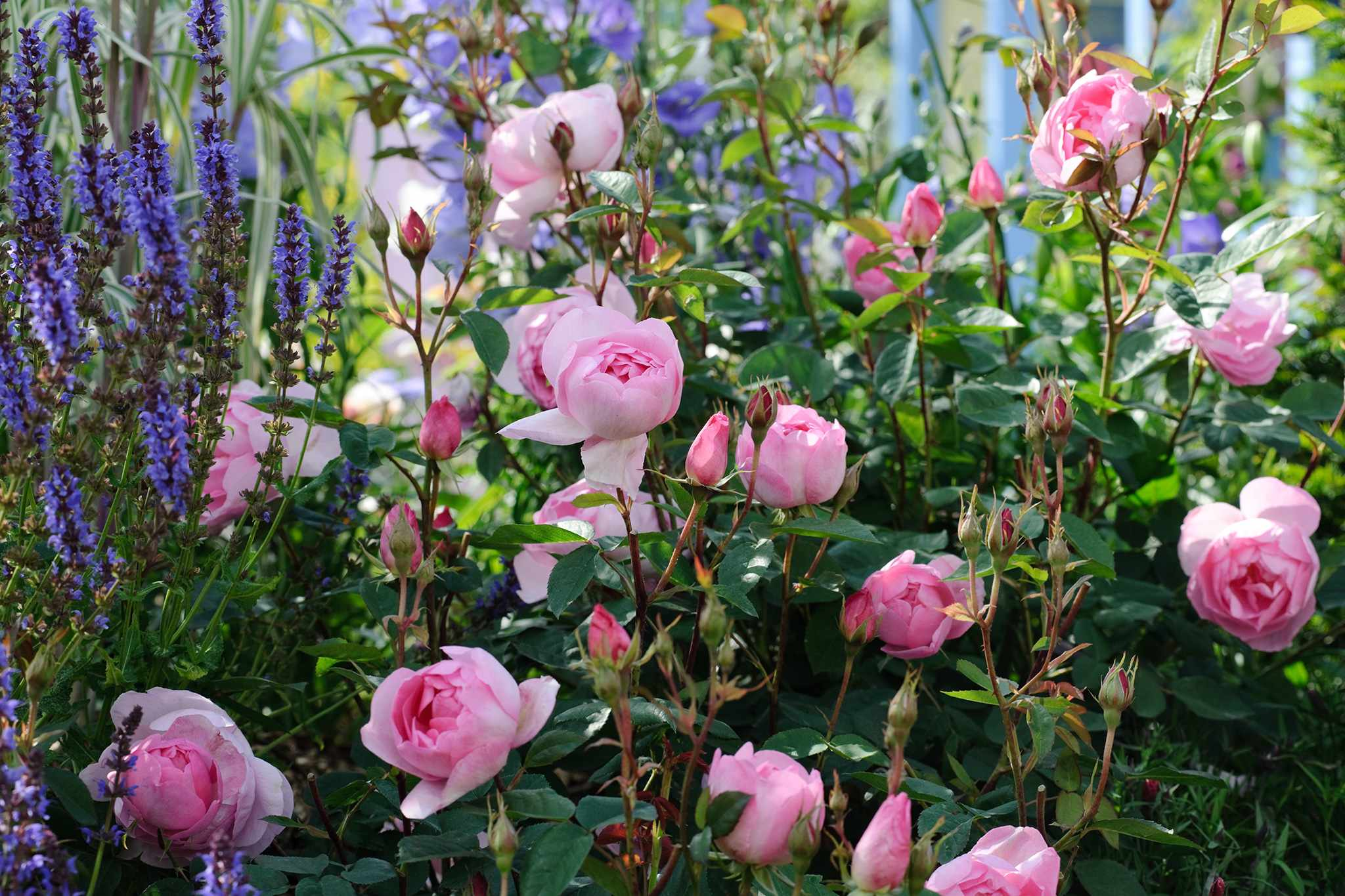 Roses planted with salvias