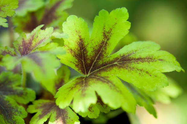 heucherella-golden-zebra-3