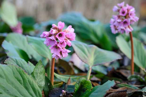 flowering-ground-cover-shade-plants-2