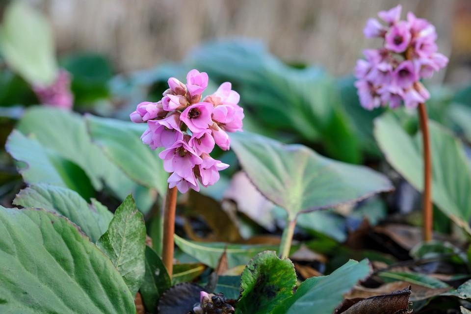 Flowering Ground Cover Shade Plants Bbc Gardeners World Magazine